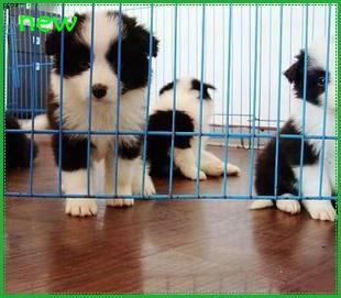 杭州哪里有出售纯种边境牧羊犬的7白到位的黑白边境牧羊犬多少钱一只保障健康没病有活体协议的