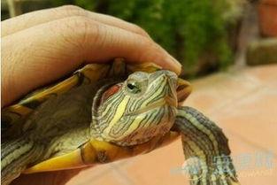 已婚女人梦见乌龟_已婚女人梦见许多小乌龟_1603人推荐