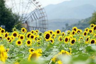云南旅游景点有大片向日葵的