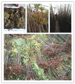 香椿树种植基地 香椿树河南河南种植一亩地多少棵