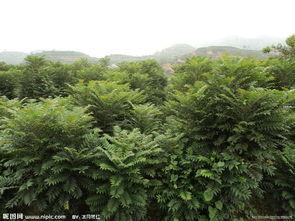 香椿树图片