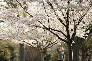 全球多地迎来绚烂樱花季 美景如画