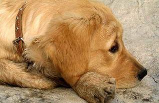 金毛犬的寿命有多长