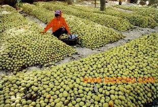 哪儿有销量好的库尔勒香梨批发市场,哪儿有销量好的库尔勒香梨批发市场生产厂家,哪儿有销量好的库尔勒香梨批发市场价格