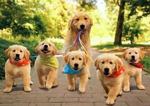 世界上最温顺的狗排名金毛是最多人喜欢的狗狗