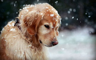 金毛应该吃什么样的狗粮 金毛最常见的疾病有哪些