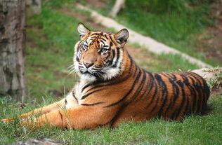 属虎的人命运很好