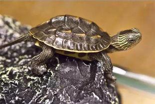 家养花龟养殖方法