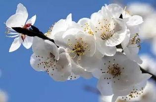 关于杏花节的诗句