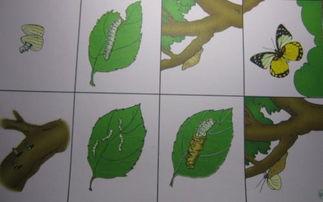 蚕和蝴蝶的生长过程排序