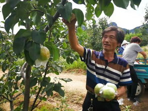 玉露香梨即将下树,55岁的他卖梨还债