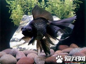 黑色金鱼代表什么 黑色金鱼的寓意介绍