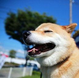 组图 日本 微笑柴犬 获全球最幸福小狗称号