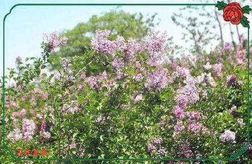 窗前的一株紫丁香范文