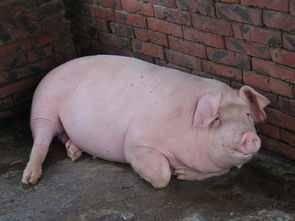 关于猪的诗句