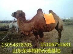 骆驼价格(香烟多少钱一条)
