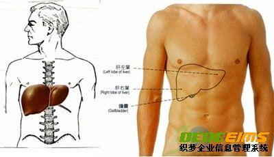 肝脏位置图片(人体肝在哪个位置)