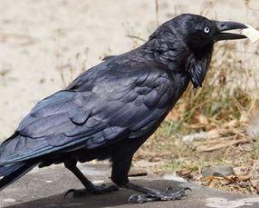 梦见黑色乌鸦是什么意思