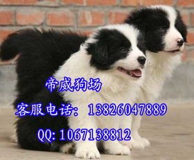 肇庆市什么地方有卖边境牧羊犬 纯种牧羊犬多少钱一只
