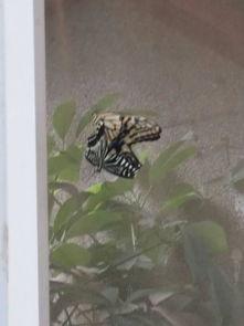 这只蝴蝶肚子鼓鼓的而且飞不起来是不是有卵了 还是有寄生虫