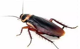 饿死一只蟑螂需要多久 蟑螂会被饿死吗