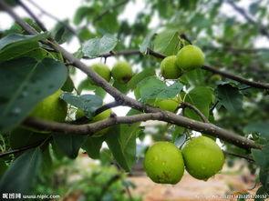 梨树应该如何种植?