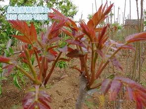 连云港红芽香椿苗种植基地