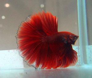 斗鱼是什么鱼(十大最好养的小型观赏鱼)_1572人推荐