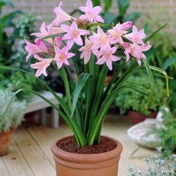 香水百合-多种百合花