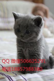 哈尔滨哪里可以买英国短猫蓝猫 猫咪 宠物网 chongwu.cc
