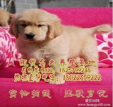 广州纯种金毛广州哪里有卖金毛狗广州金毛价格