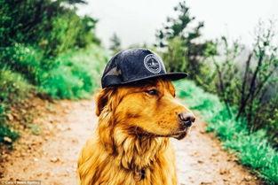 金毛随主人徒步旅行 戴帽子穿登山鞋