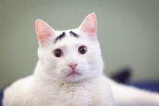 猫咪长 八字眉 搞笑走红网络 组图