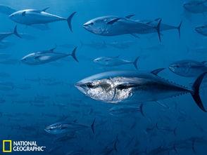 大洋里的金枪鱼 被过度捕捞的王者鱼类