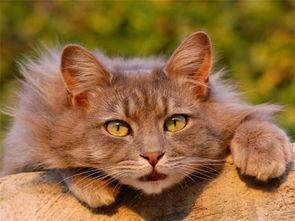 猫咪互相对话的叫声