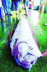东海海域捞出4米长神秘龙骨 经鉴定为勒氏皇带鱼