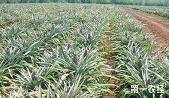 菠萝是怎么长出来的 菠萝的生长过程 图片