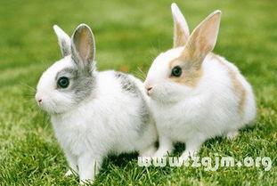 梦见杀兔子