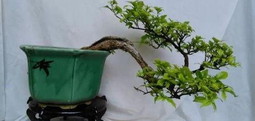 養花技巧三角梅