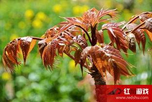 香椿芽是什么 香椿芽的功效与作用