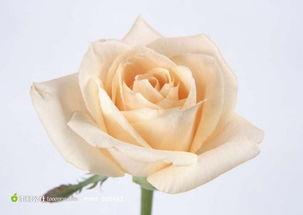 一只香槟玫瑰高清图片素材
