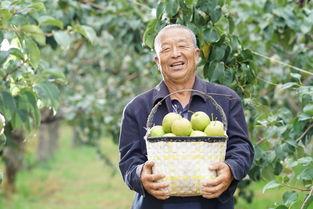 中国玉露香梨在隰县,苏宁扶贫模式推动农户脱贫增收