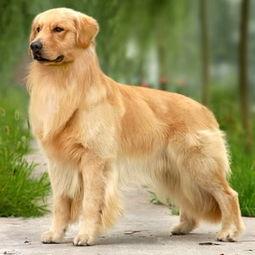 资料图 黄金猎犬,又名金毛犬