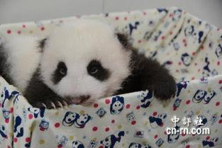 大熊猫 圆圆 母女做瑜珈动作逗趣可爱