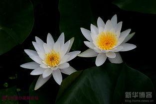 白睡莲紫睡莲九品香水莲