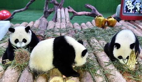 7月29日,广州长隆野生动物世界的大熊猫三胞胎享用竹笋生日蛋糕.