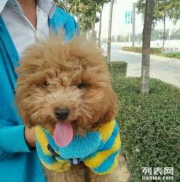 可爱泰迪狗名叫小七