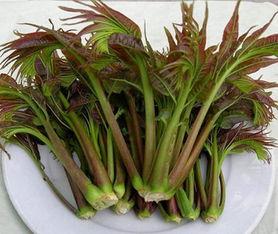 红油香椿苗批发价格 大棚红油香椿苗种植基地