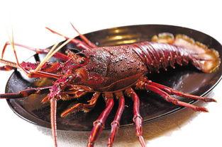 浙江温州龙港渔民捕到一只中华锦绣大龙虾 体重3.5斤