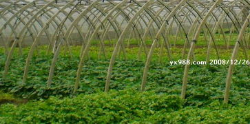 攸县绿康公司蔬菜 香椿种植基地